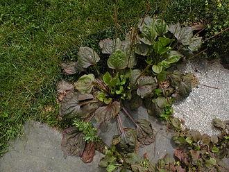 Plantago major - Cultivar 'Rubrifolia' of Plantago major