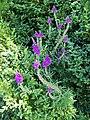 Purple Toadflax, Bishopstone - geograph.org.uk - 890711.jpg