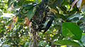 Purple rumped Sunbird (Leptocoma zeylonica) building its nest 03.JPG