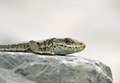 Pyrenean rock lizard - Pyreneeënberghagedis - Iberolacerta bonnali.tif