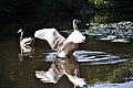 Queensmere Swans, Sep 2011 (6188817589).jpg