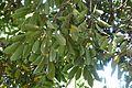 Quercus acuta - Caerhayes Castle gardens - Cornwall, England - DSC03085.jpg
