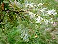 Quercus cerris 'Marmorata'.jpg