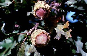 Quercus macrocarpa - Acorns
