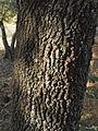 Quercus pyrenaica 20110811.jpg