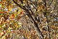 Quercus serrata(2) (23520113703).jpg