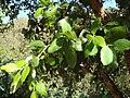 Quercus suber 2.JPG