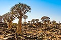 Quiver Tree Forest Namibia.jpg