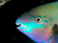 Quoy's parrotfish (Scarus quoyi) (25377304617).jpg