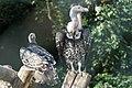 Rüppells gier (Gyps rueppellii) - 29270699643.jpg