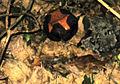 Rafflesia kerrii Meijer 2.jpg