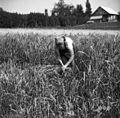 Rakarjevi (mati in hči) iz Št. Vida žanjeta proso v Vel. Češnjicah blizu Št. Pavla 1950 (2).jpg