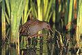 Rallus aquaticus 3 (Marek Szczepanek).jpg