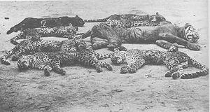 Rampokan - A Javan tiger killed along with seven leopards during Rampokan in Kediri, East Java, circa 1900.