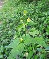 Ranunculus silerifolius.jpg