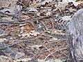 Rattlesnake Yosemite.jpg