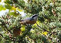 Red-breasted Nuthatch. Sitta canadensis - Flickr - gailhampshire.jpg