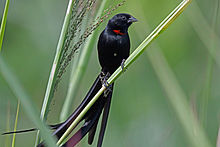Red-collared Widowbird, Sakania, DR Congo (7147889925).jpg