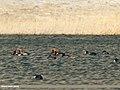 Red-crested Pochard (Netta rufina), Tufted Duck (Aythya fuligula), Gadwall (Anas strepera) & Eurasian Coot (Fulica atra) (35681343671).jpg