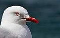 Red Billed Gull (10200105846).jpg