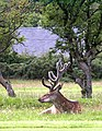 Red Deer Stag - panoramio.jpg