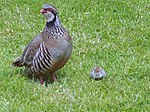 Red Legged Partridge (Alectoris rufa) - geograph.org.uk - 516937.jpg