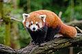 Red Panda (25193861686).jpg