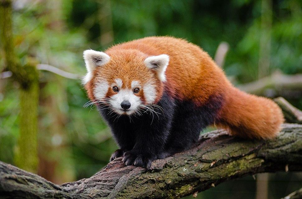 Red Panda (25193861686)