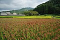 Red Rice Paddy field in Japan 009.jpg