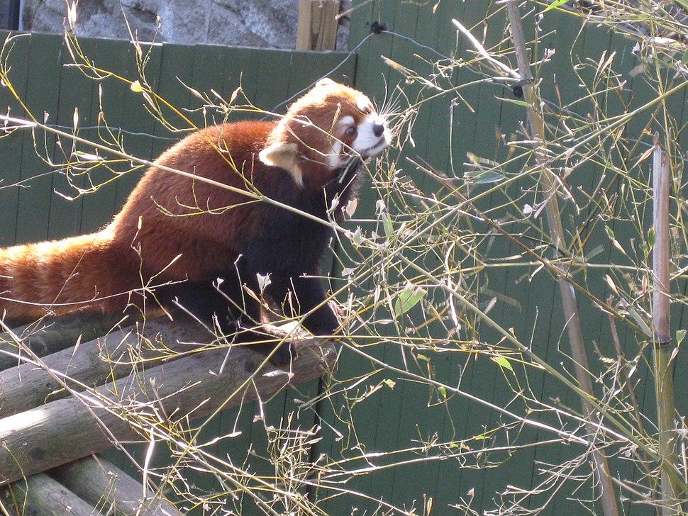 Red panda gnawing