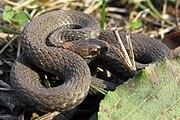 Redbelly Snake - Storeria occipitomaculata occipitomaculata.jpg
