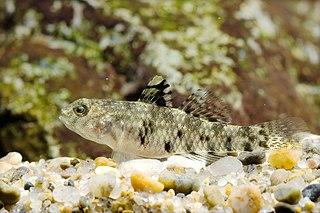 <i>Redigobius</i> genus of fishes