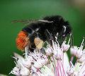 Redtailed bumblebee.jpg