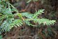 Redwood Needles (2447761141).jpg