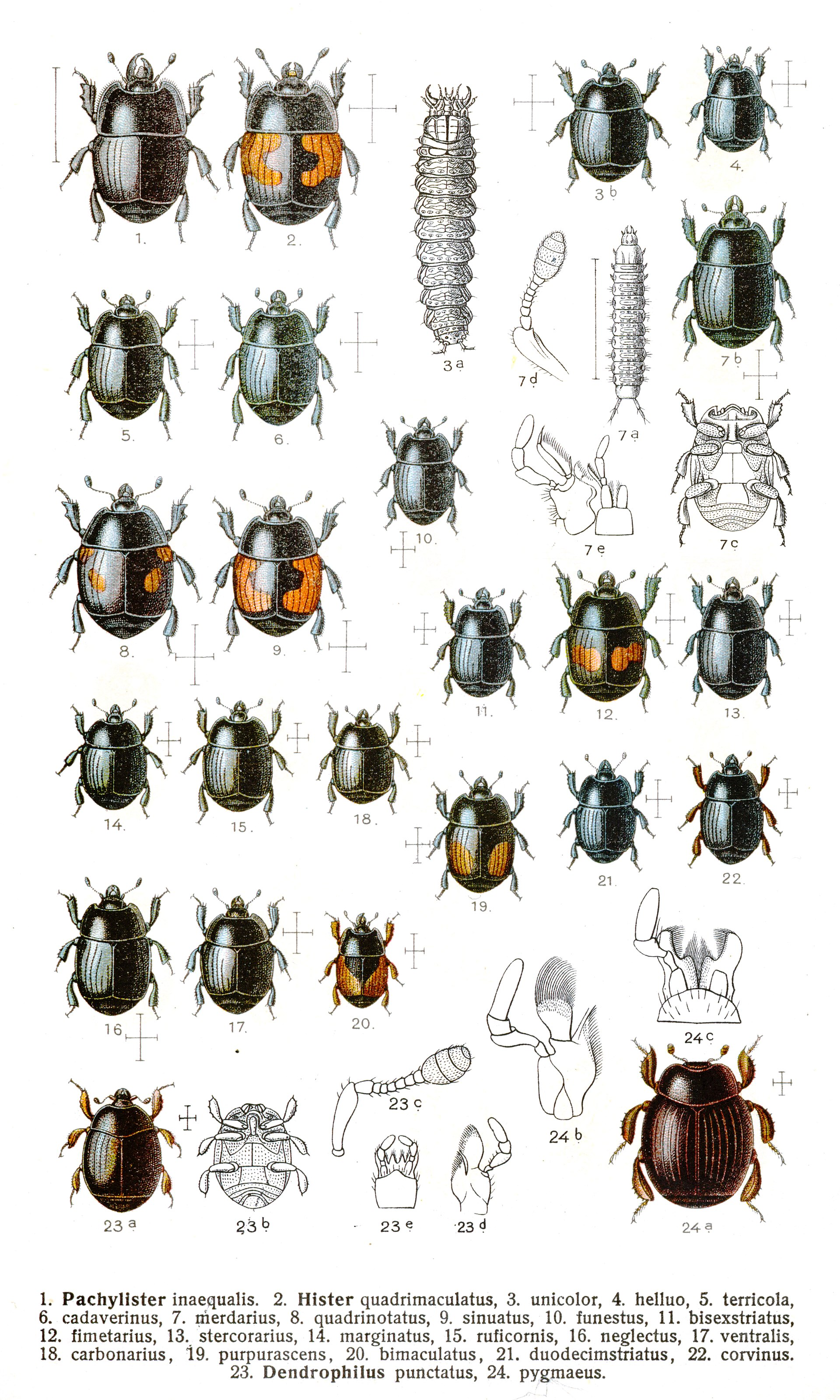 Longhorn beetle  Wikipedia