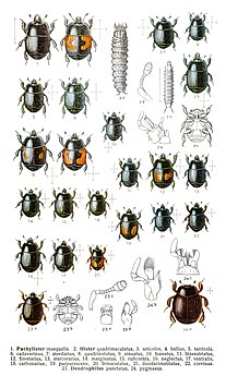 Histeridae Family of beetles