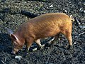Resident of the Ginger Piggery - geograph.org.uk - 1128143.jpg