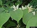 Reynoutria japonica leaf (11).jpg