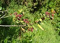 Rhamnus alaternus fruits.JPG