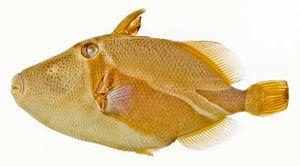 Reef triggerfish - Image: Rhinecanthus rectangulus SI