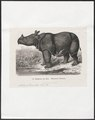 Rhinoceros javanicus - 1700-1880 - Print - Iconographia Zoologica - Special Collections University of Amsterdam - UBA01 IZ22000241.tif
