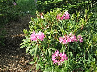 Great Balsam Mountains - Image: Rhododendron catawbiense