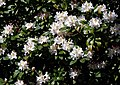 Rhododendron 'Cunningham's White' City of London Cemetery 1 detail.jpg