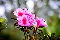 Rhododendron In Munnar.jpg