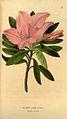 Rhododendron barbatum.jpg