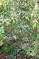 Rhododendron ciliicalyx - Mendocino Coast Botanical Gardens - DSC02188.JPG