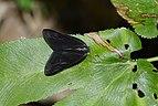 Ricaniidae 5506.jpg