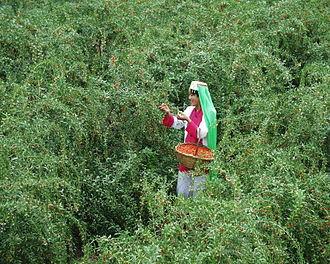 Праздничный сбор дерезы (Lycium barbarum) в Нинся-Хуэйском автономном районе Китая