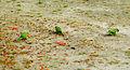 Rio de Janeiro Wild Parrots-4.jpg