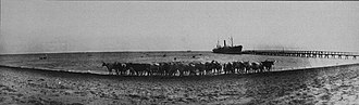South Fremantle, Western Australia - Cattle being unloaded from a ship at Robb Jetty in the 1920s. Livestock were shipped from the Kimberley.